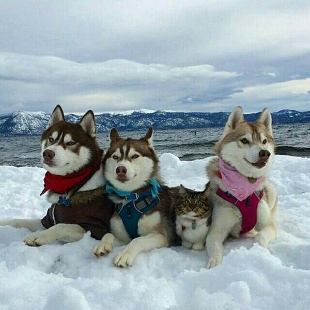 Trying to fit in like... @lilothehusky  Follow @9gag for more funny pictures!  #9gag  #husky #cat #aww #family @9gagmobile