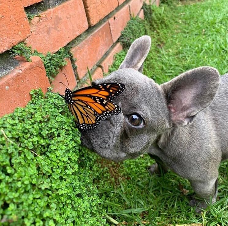Blue French Bulldog Puppies Pedigree Papered In 2020 French Bulldog Puppies Bulldog Puppies French Bulldog Blue