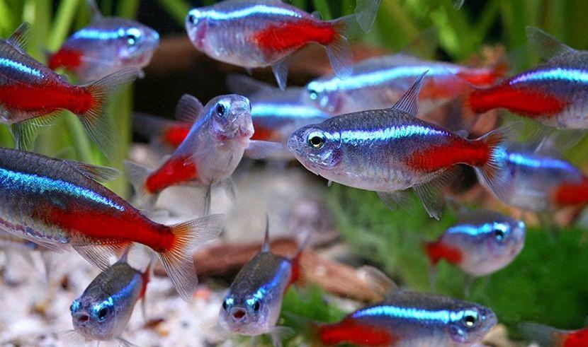 Resultado de imagen de pez neon