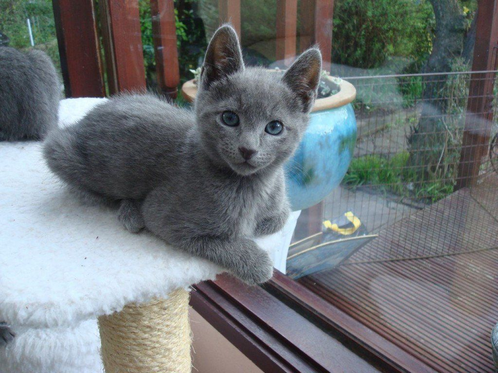 8 Reasons to Get a Russian Blue Cat cats 3 Russian