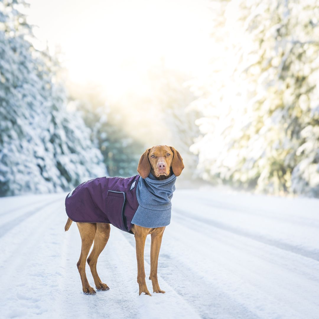Vizsla Winter Coat Goldenacresdogs