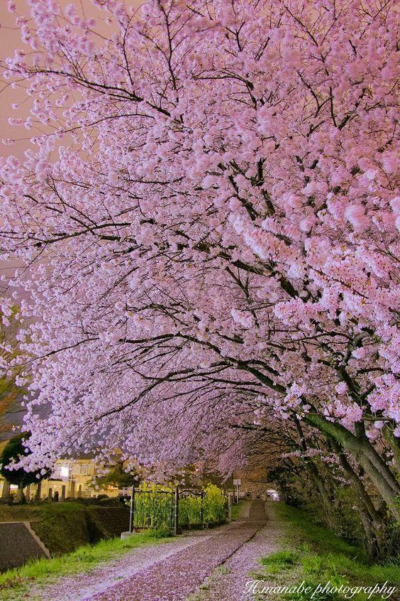 Lifeisverybeautiful In The Night Of The Promenade By Hisanori Manabe Via Tokyocameraclub Cherry Blossom Japan Beautiful Landscapes Beautiful Nature