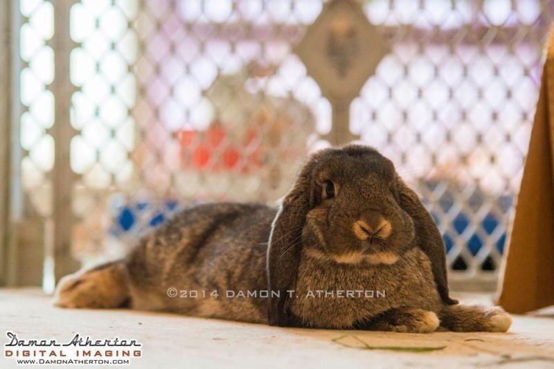 Adopt Linus on Petfinder House rabbit, Linus, Holland lop
