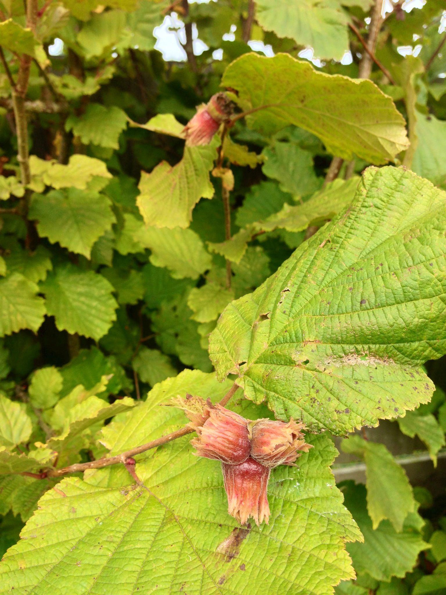 Corylus avellana - mogyoró