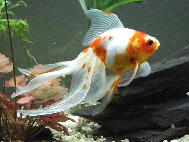 Popular goldfish types and pictures exotic tropical for Ornamental pond fish types