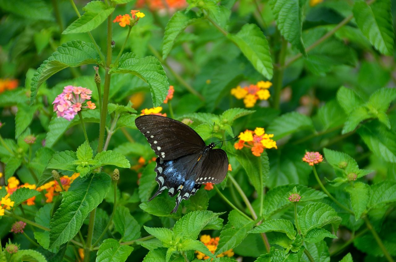 Swallowtail Butterfly, Garden, Insect, Nature  FREE