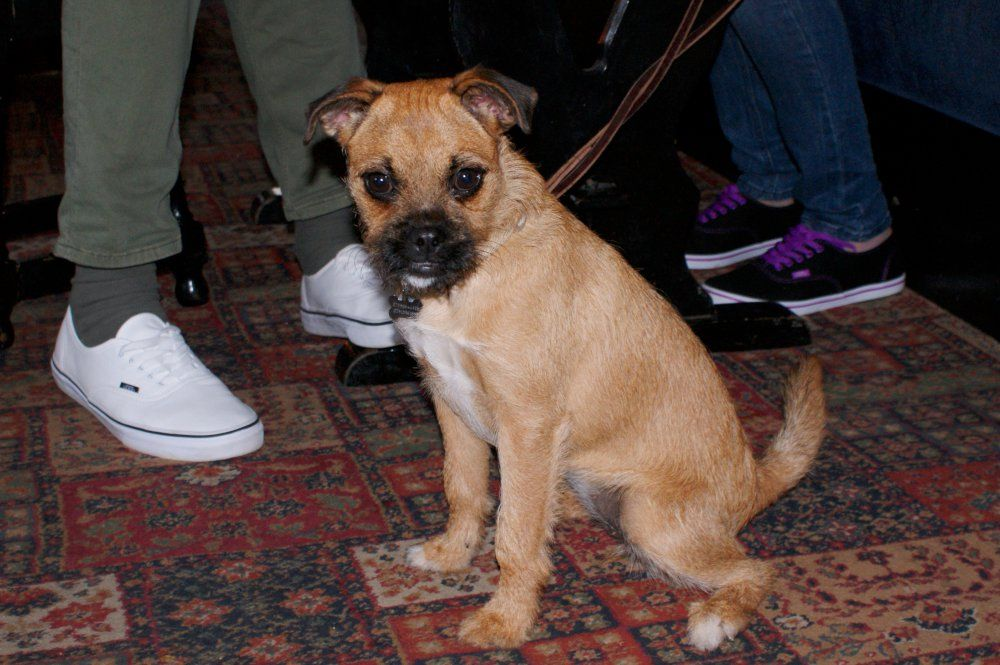 Honey The Border Terrier Pug Cross Dog Dogs
