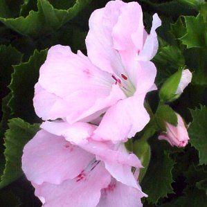 Pelargonium x domesticum nombre popular geranio de for Planta perenne en maceta de invierno