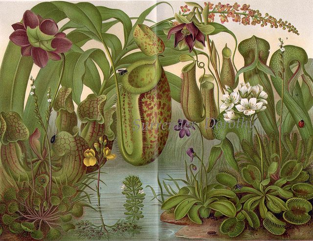1906 Pitcher Plants Victorian Botanical Chromolithograph Print From Germany by SurrendrDorothy, via Flickr