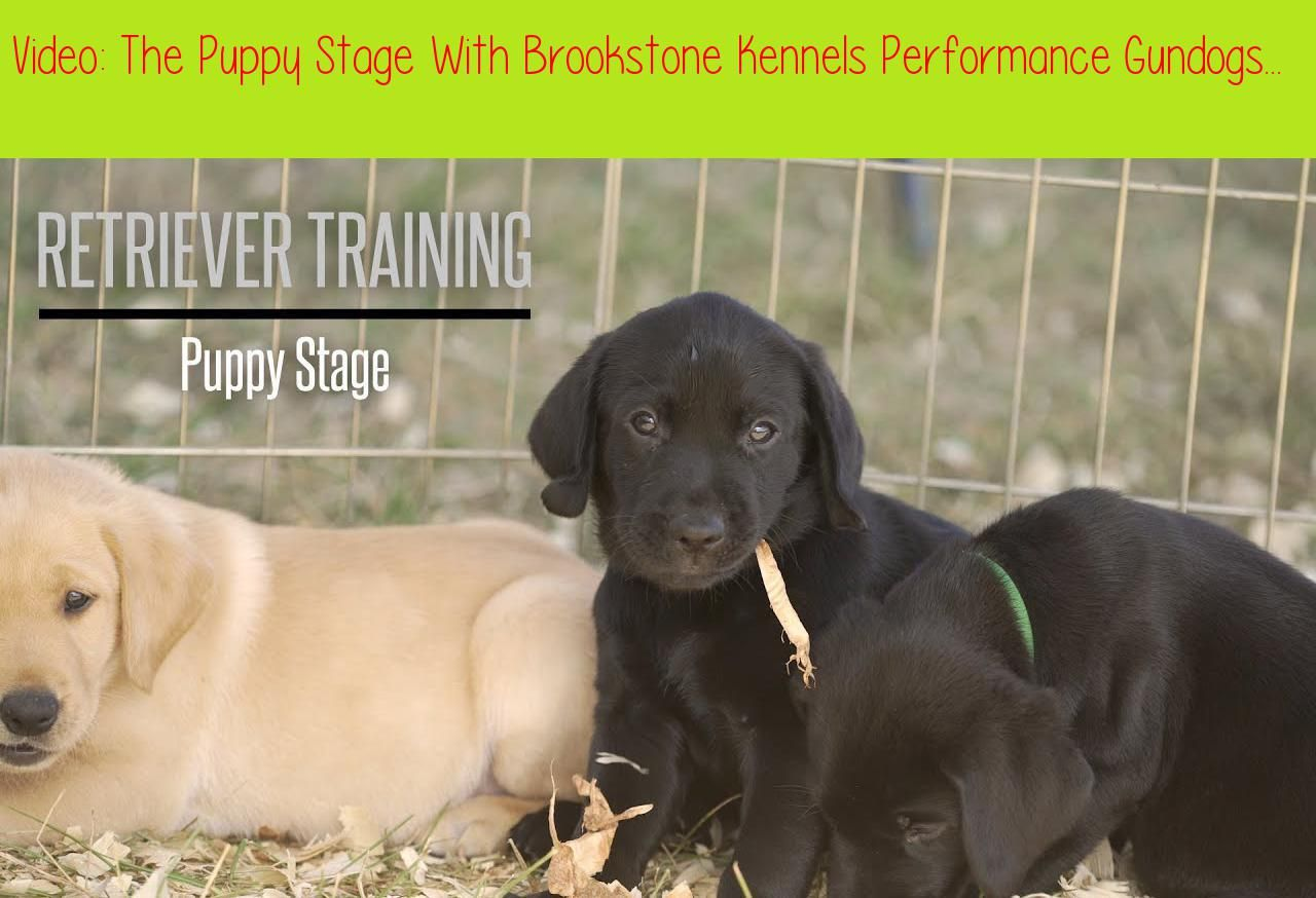 The Puppy Stage With Brookstone Kennels Performance Gundogs