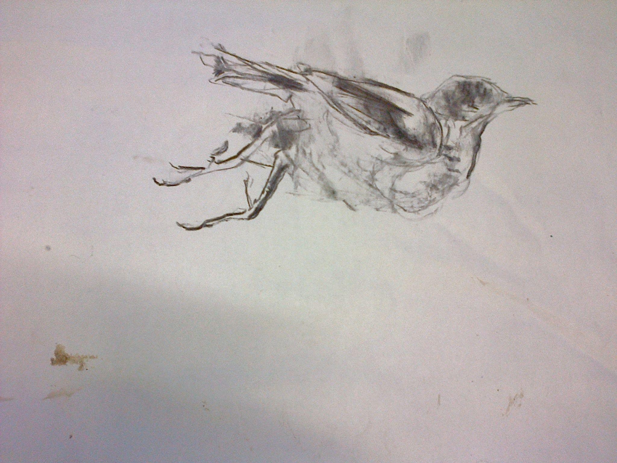 Fallen Bird .Sketch May 2015. Pascale Chandler