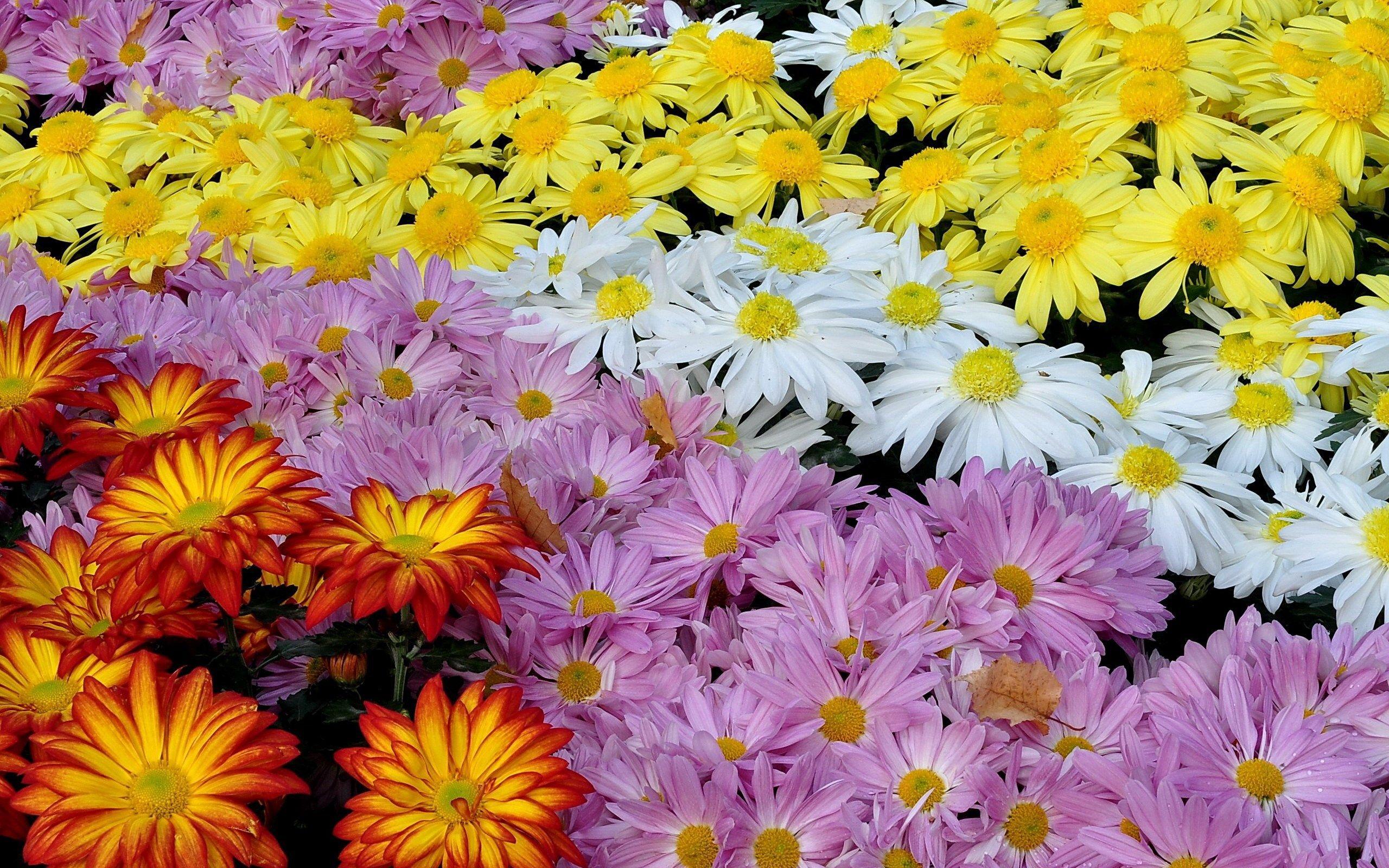 pretty chrysanthemum wallpaper