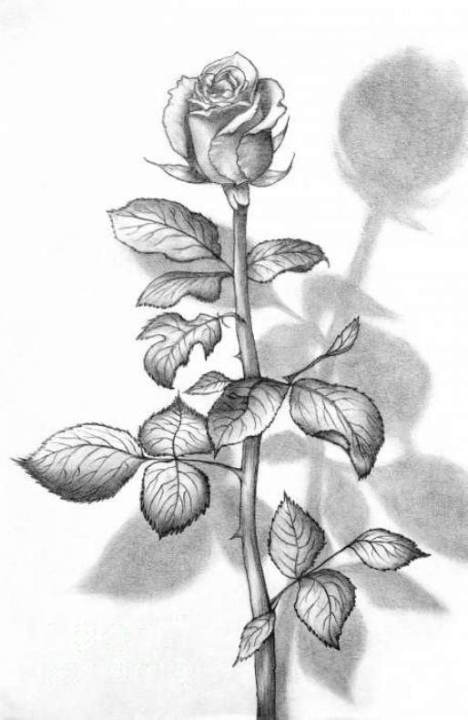 Sketsa Gambar Bunga Mawar Yop Di 2019 Tattoos Sketches Dan Flowers