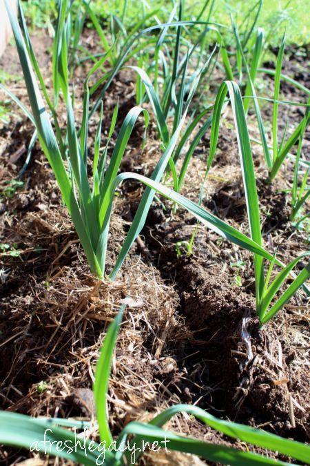 Growing Vegetables - Leeks | Growing vegetables, Edible ... Leek Companion Plants