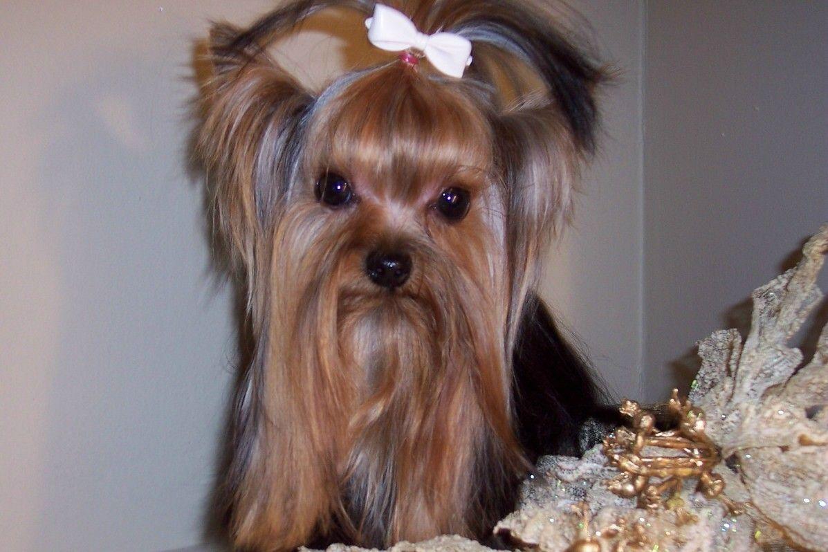Courtashyorkies Stud Male Reagon Yorkie Breeders Yorkie Pup