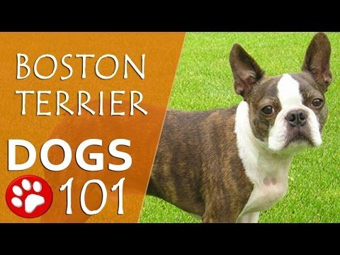 Dogs 101 Boston Terrier Top Dog Facts About The Boston Terrier Youtube Boston Terrier Boston Terrier Funny Terrier