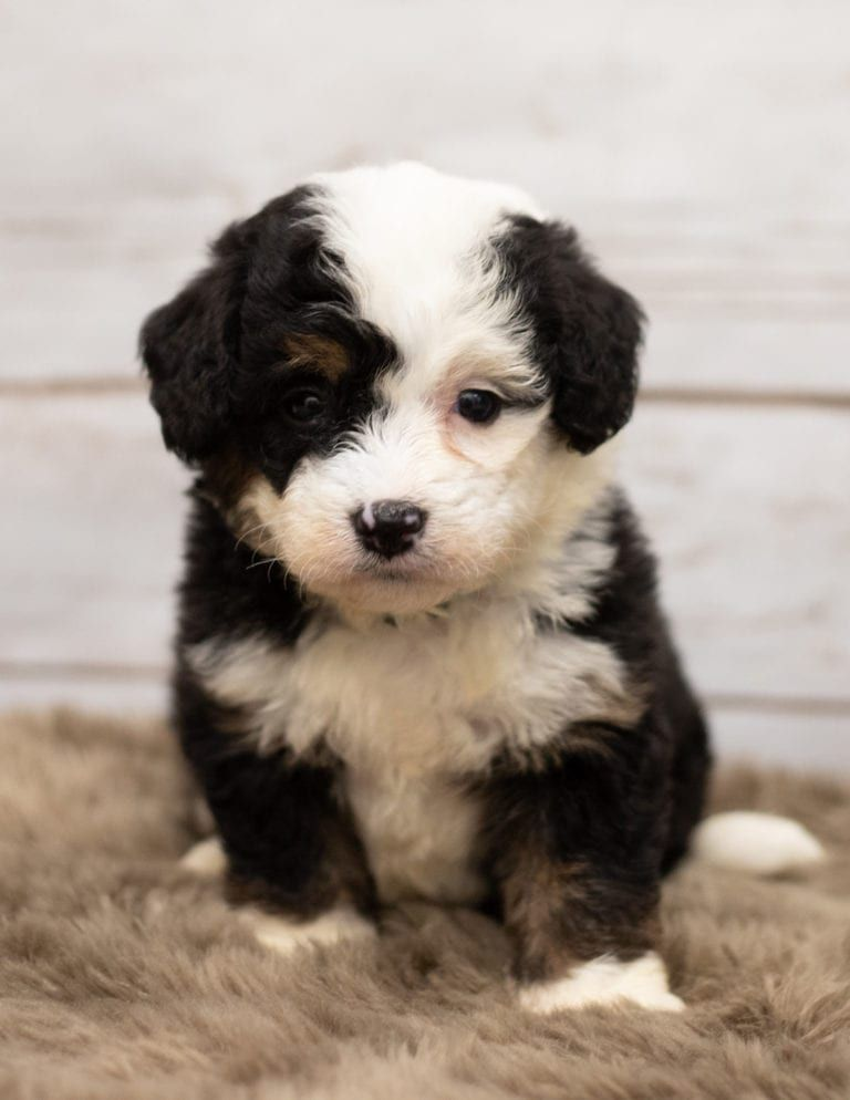 She S A Tri Color F1 Mini Bernedoodle So Cute I Personally Love