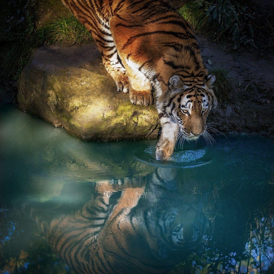 Tiger Water Reflection Mirror Wildlife Water Reflection Photography Water Reflections Tiger Spirit Animal