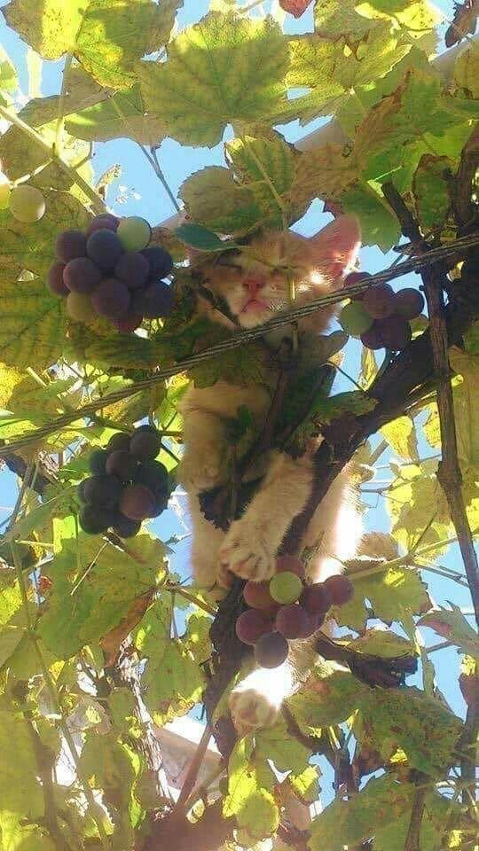 Wein Katze :-D #gingerkitten