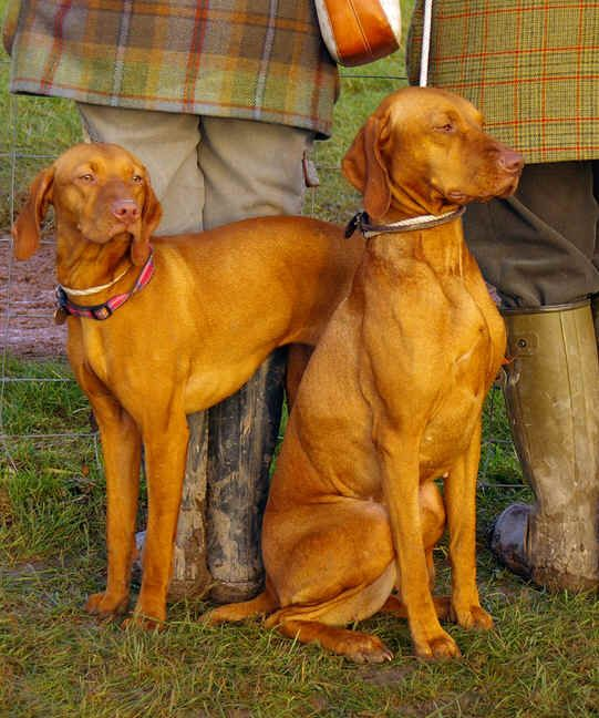 Adopt Iris On Vizsla Puppies Vizsla Big Fluffy Dog Rescue