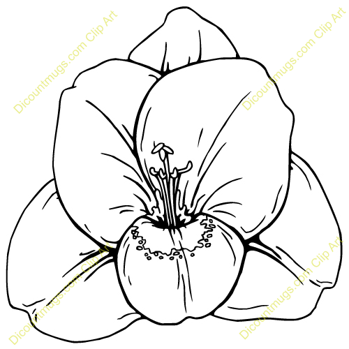 gladiola line drawing cladiolos colouring pages