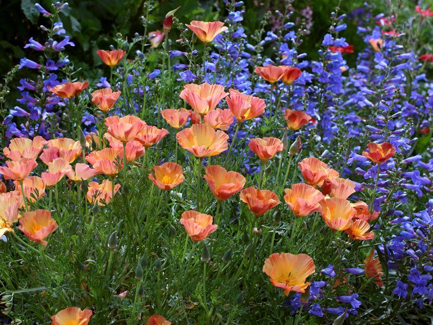 Eschscholzia Californica Apricot Chiffon California Poppy