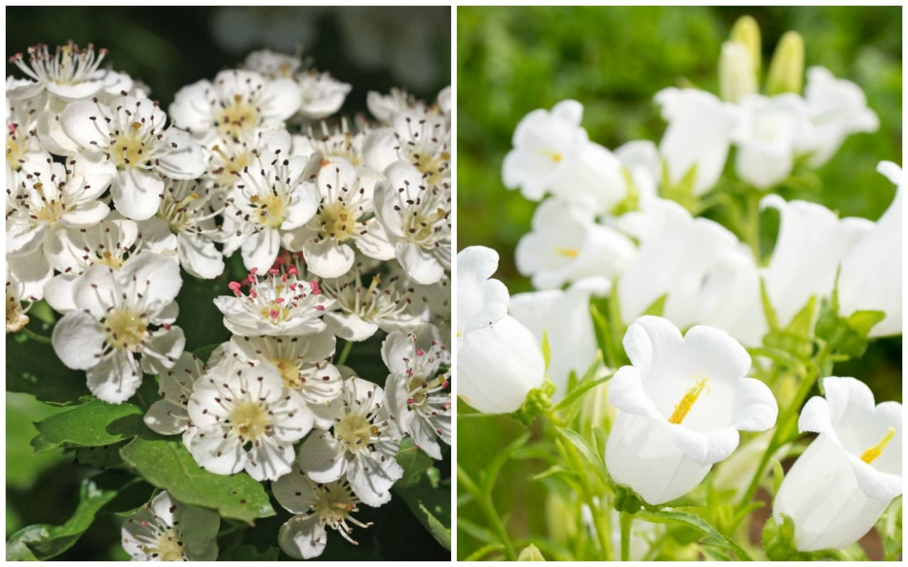 Birth Month Flowers Hawthorn Lily of the Valley May