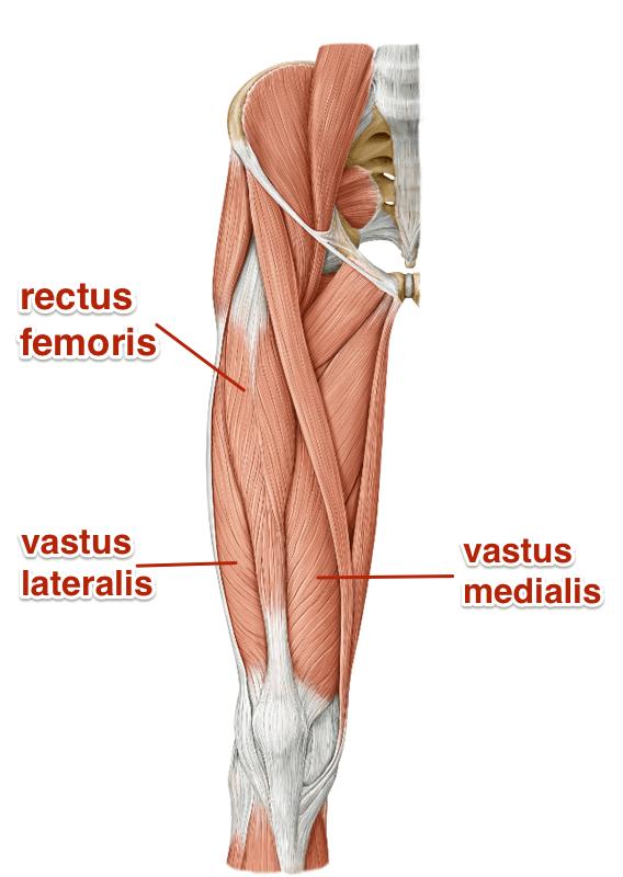 location of quadriceps - Google Search | Anatomy | Pinterest