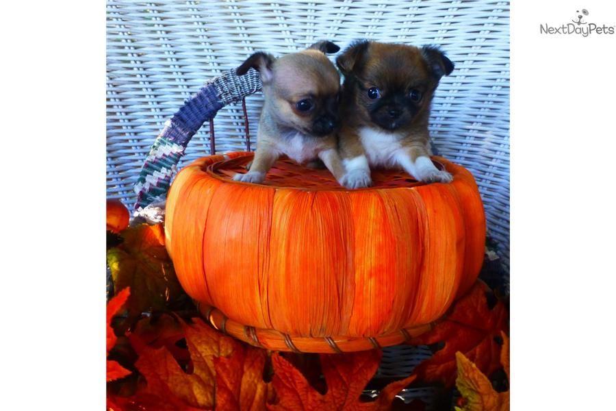 TINY FEMALE BONITA! Chihuahua puppy for sale