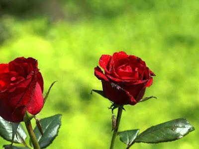 Images Hi Images Shayari Gulaab Khilte Rahe Hindi Shayari Image Wallpaper Nature Flowers Beautiful Rose Flowers Amazing Flowers