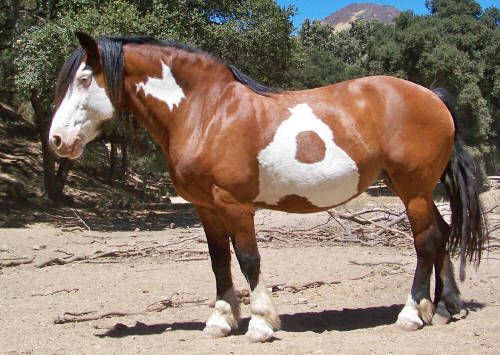 beautiful spotted Draft Horse
