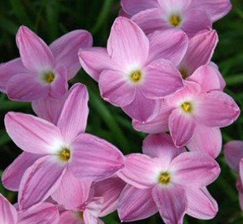 Zephyranthes pink panther pink panthers flower and plants zephyranthes pink panther 1 flower mightylinksfo