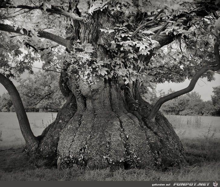 Die Altesten Baume Der Welt Ancient Tree Tree Photography Beautiful Tree