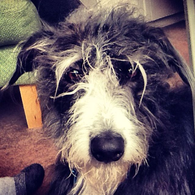 Rosie The Lurcher Bedlington Terrier And Bearded Collie Mixed In