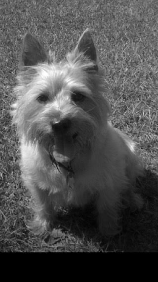 Pin By Orbydaz On Rock Dog Co Cairn Terrier Terrier Dogs