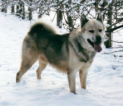 This Spitz Type Dog Has Existed Throughout The Arctic Regions