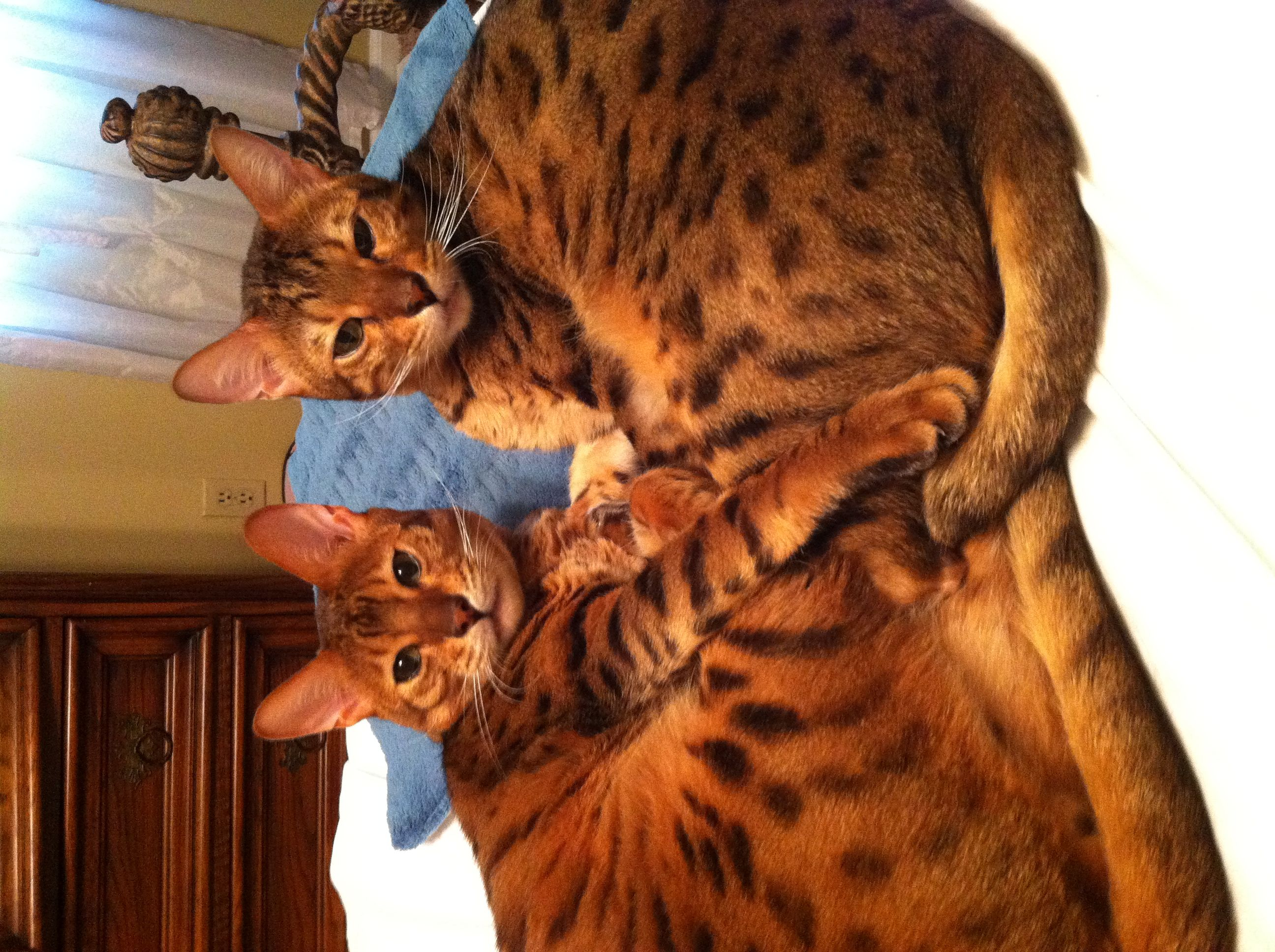 motherfantasy Bengal cats. Big brother and baby brother. Mother fantasy. Mixed Asian  leopard and