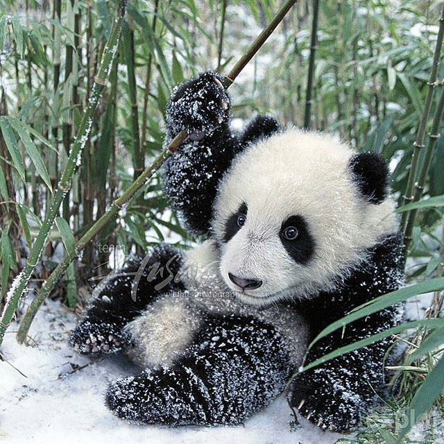Cute baby panda Photography by ©pandathings #Wildgeography ...