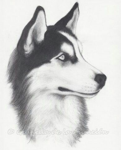 Pin de Савина Кателиева en ❤️Husky lover❤ | Pinterest | Lobos ...