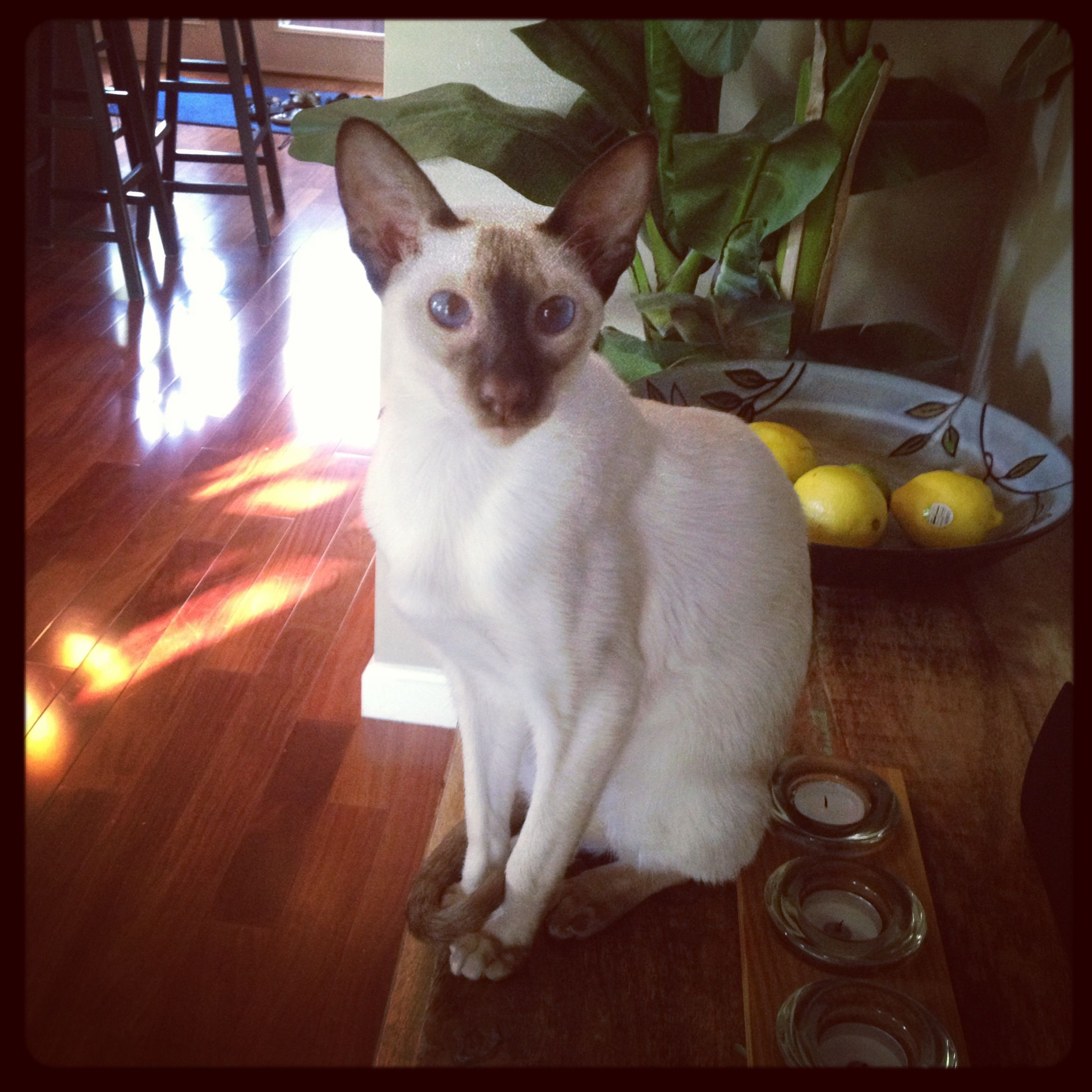 Chocolate Point Siamese Kitten Siamese Cats Fancy Cats Kittens Cutest Baby