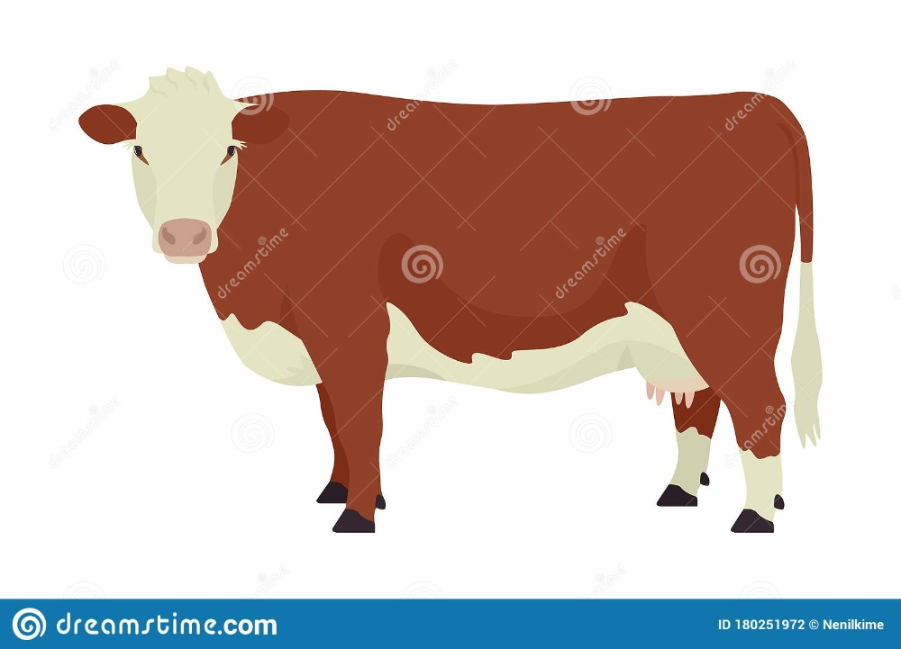 illustration about hereford cow british breed of beef cattle flat vector illustration isolated object on white background set in 2020 hereford cows cattle beef cattle illustration about hereford cow british