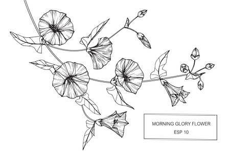 Morning Glory Flowers Drawing And Sketch With Line Art On White Morning Glory Flowers Flower Drawing Morning Glory Tattoo
