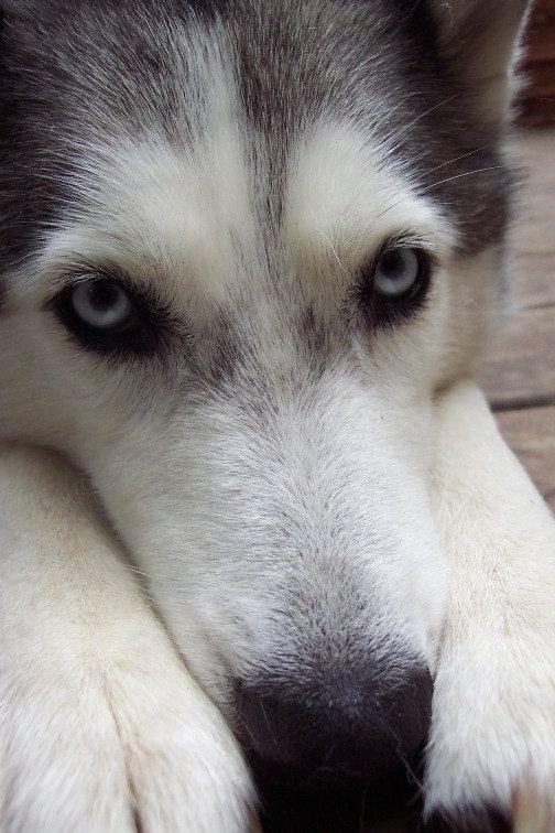 American Eskimo Dog Blue Eyes Fine Art By Inthewoodsstudio American Eskimo Dog Eskimo Dog Animals Beautiful