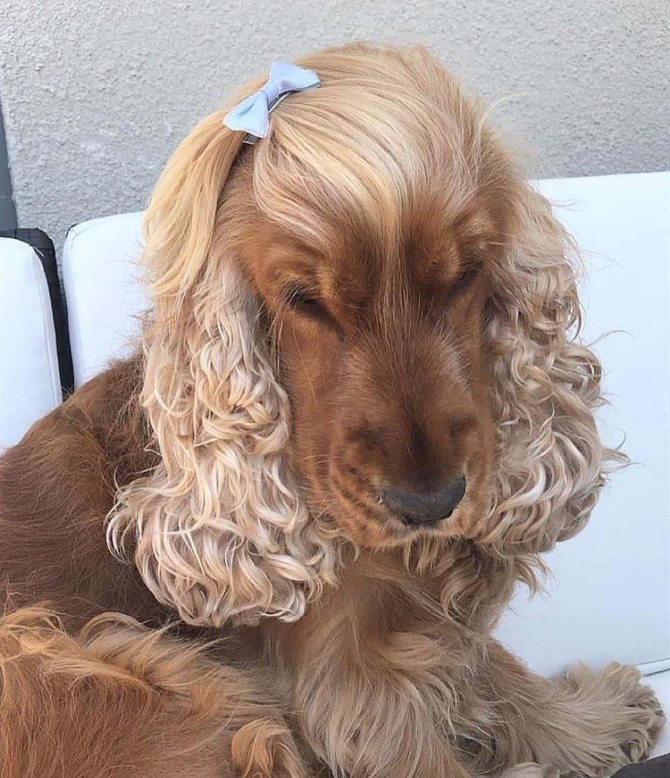 Curly Hair Hair Women Trending Hair Blonde Hair Hair Short Medium Hair Styles Best Hair Hair Long Over Hair Dark Hair Summe In 2020 Spaniel Puppies Cocker Spaniel Dogs