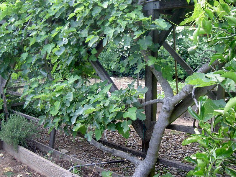 Fig Trellis Garden Fruit Espalier Garden Trellis Garden Design Dream Garden