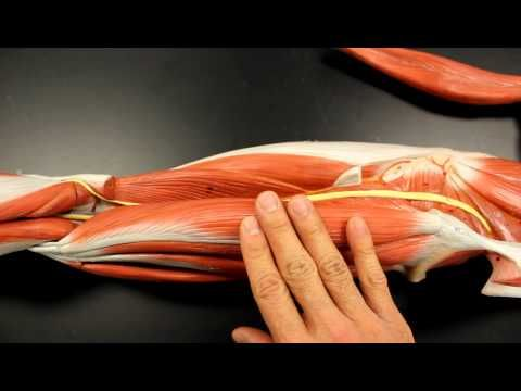MUSCULAR SYSTEM ANATOMY: Posterior thigh region muscles model ...