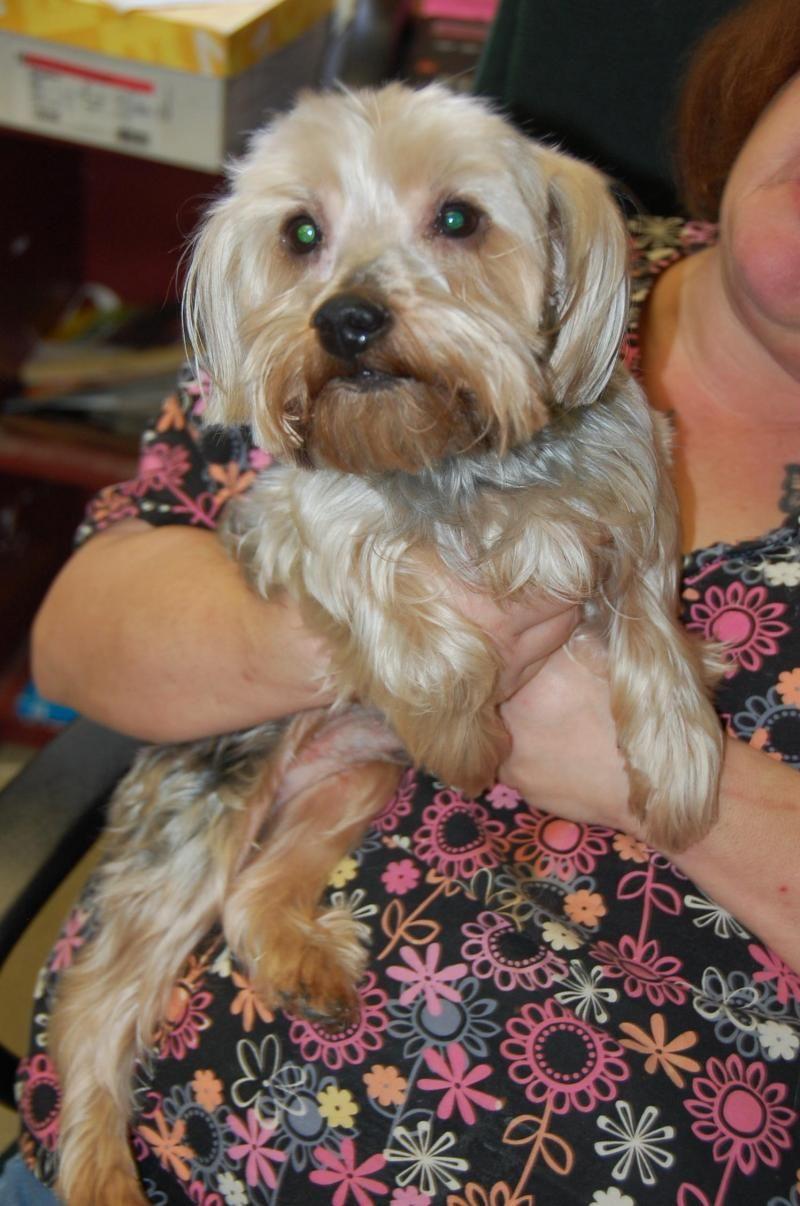 Adopt Schneitzer On Dog Adoption Silky Terrier Adoption
