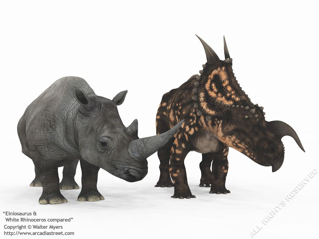 An adult centrosaurine ceratopsian dinosaur of the genus Einiosaurus compared to a modern adult White Rhinoceros // Walter Myers
