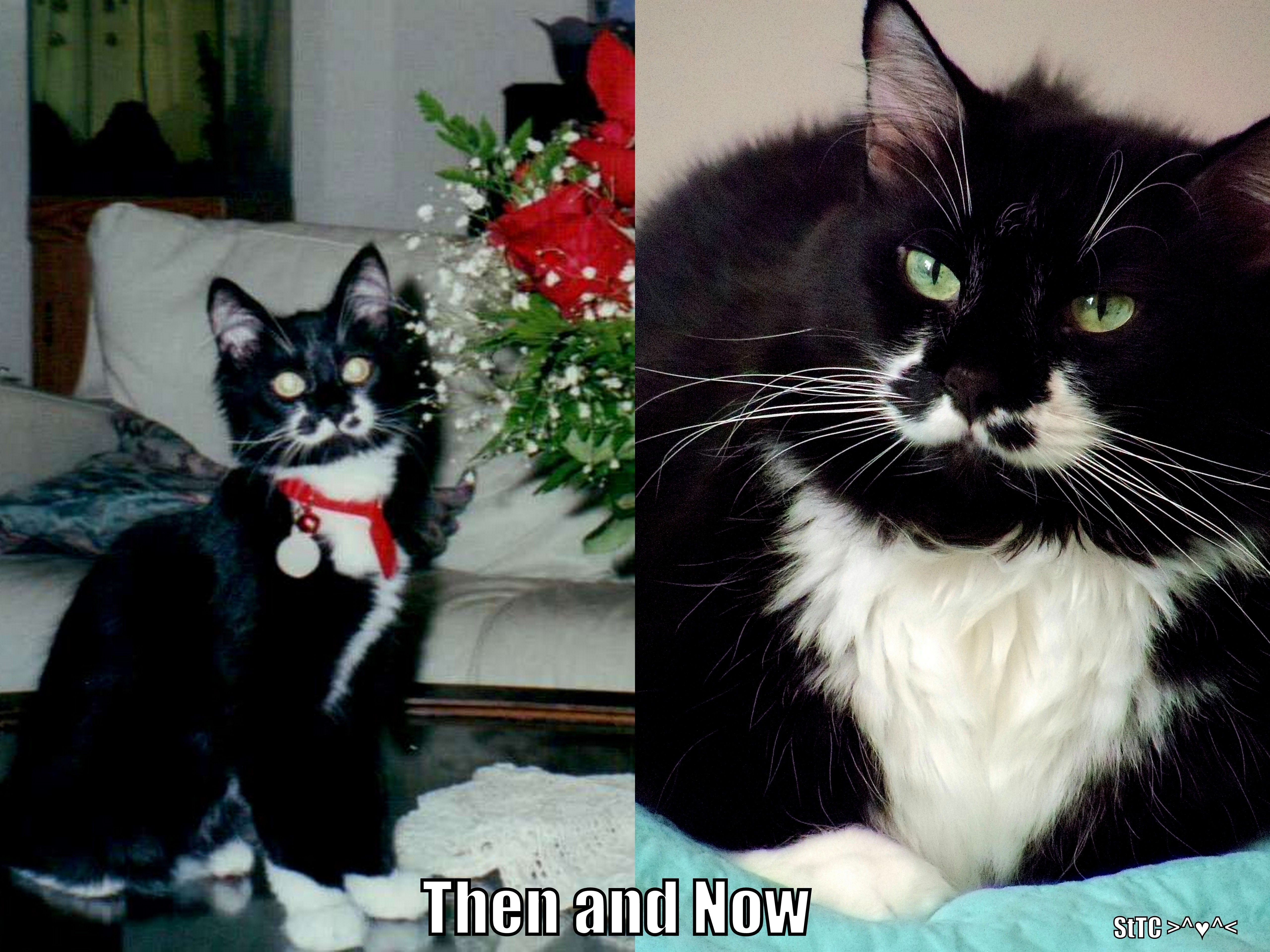 Sylvester the Tuxedo Cat on Facebook as a kitten and at 13.