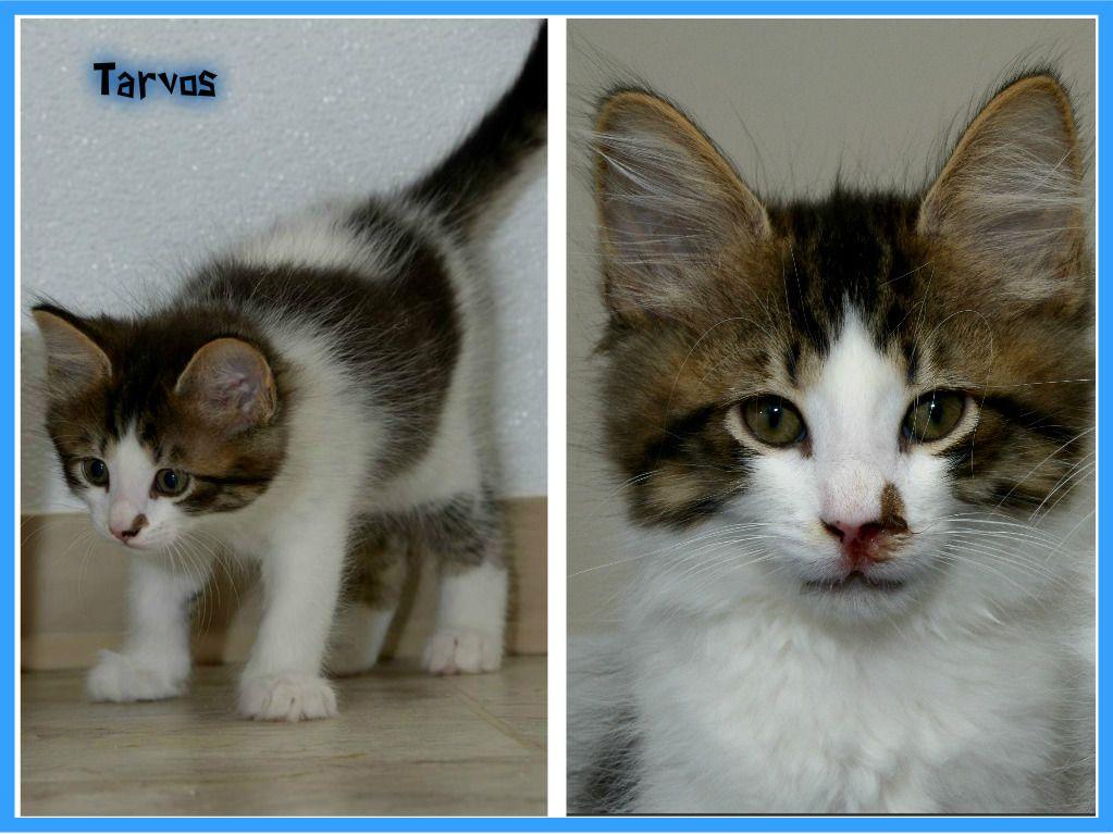 Tarvos Luna S Kitten Kittens